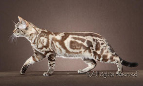 snow charcoal bengal