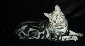 Silver Marbled Bengalkatze