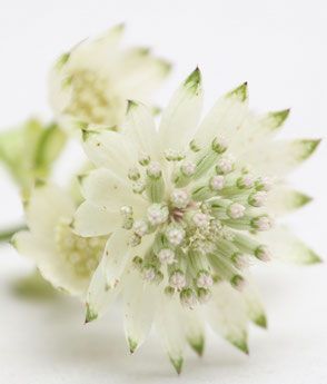 Sterndolde weiss Blumen für Blumen Kranz