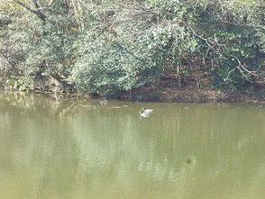 新池を仲良く泳ぐ水鳥たち