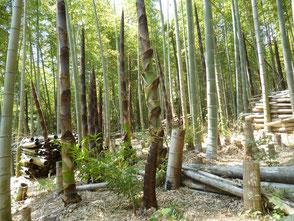 こんな風景にも出会います、新しい竹がニョキニョキ