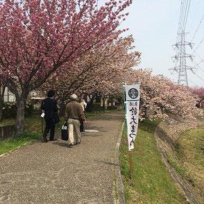 まさに見事な満開の八重桜!明日が楽しみです!