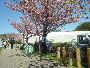 於大の道八重桜は満開です