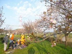 桜はこれから楽しめます