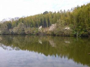 自然環境学習の森の新池に咲く桜!心和む景色!