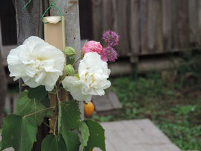 作業場に飾られた酔芙蓉とカラス瓜の実