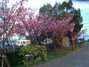 八重桜はもう満開近し!17日が楽しみです!!