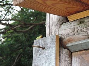 学習の森入口の掲示板にアマガエルがいます!