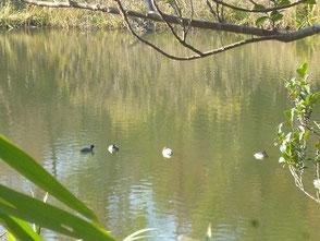 新池に飛来する水鳥