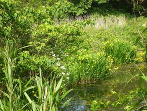 新池の畔に咲いている黄色菖蒲(外来種)
