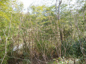 昨年竹を除伐した個所 樹木が陽を受け伸び伸びです