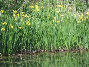 新池の畔に咲く黄色菖蒲(外来種)が満開です
