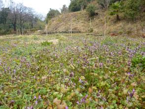 里山に春の訪れを告げる草花!ホトケノザです