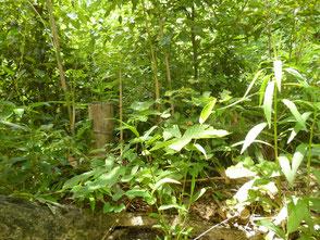 陽が差込むよう竹が成長する前に切っていきます