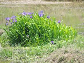 田圃の中に咲いている菖蒲