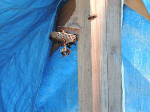 テント内に作られた蜂の巣を駆除しました