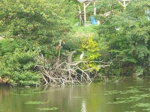 新池で悠然と羽を休める野鳥