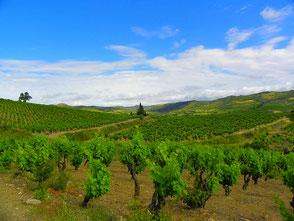 les vignes des corbières, le calme de paysages reposants