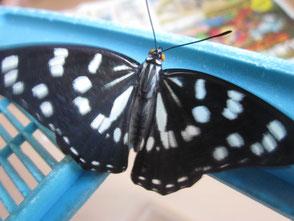 チョウのエサ2