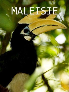 Neushoornvogel in Sukau op Sabah Maleisisch Borneo
