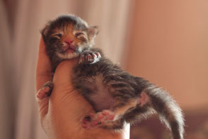Rascoon C (black tortie tabby) female 3 days