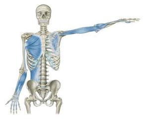 Frontale Armlinien