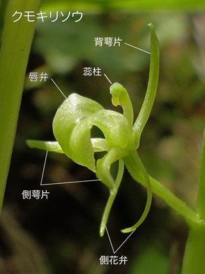 クモキリソウの花の構造(背萼片、側花弁、側萼片、唇弁、蕊柱)