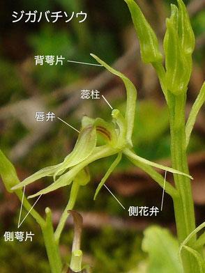ジガバチソウの花の構造(背萼片、側花弁、側萼片、唇弁、蕊柱、葯、翼)