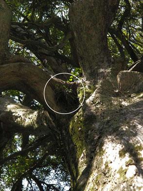 大木の10mの高さにフウランがついている