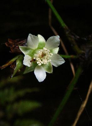 ミヤマフユイチゴ (深山冬苺)