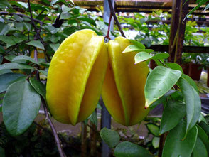 Star Fruit Hanoi