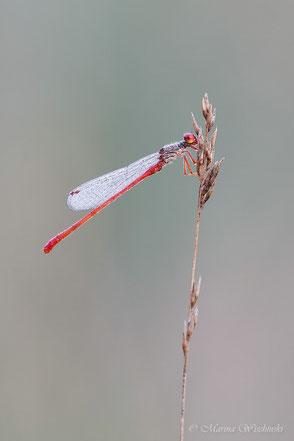 Scharlachlibelle (Ceriagrion tenellum)