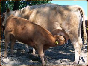 Mein BioRind | Kuh