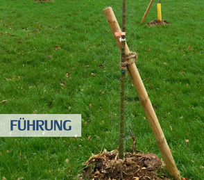 Führung - ein junger Baum wird durch eine feste Stütze in die richtige Richtung geführt