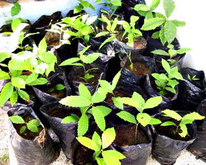 plantas de castaño