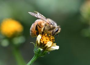 ミツバチ 駆除