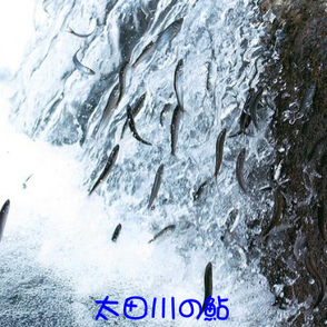 太田川の鮎