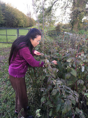 Harvesting the last raspberries of the year