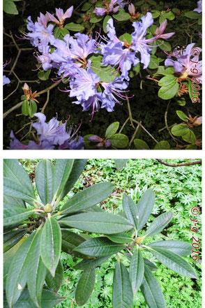 Oben: Wild-Rhododendron in Blüte Unten: Knospen