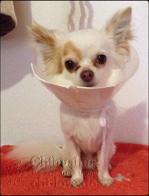 Swiffer Chihuahua   Chi-Love.de   Hauptsache gesund   Chihuahua mit Trichter