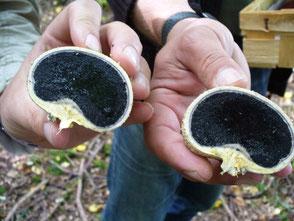 Der Kartoffelbovist ähnelt von Form, Farbe und Gewicht einer Kartoffel. Im Gegensatz zu dieser ist er jedoch giftig. Er bevorzugt saure Böden unter Eichen und Birken.