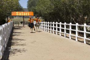 Straussenrennen auf Safari