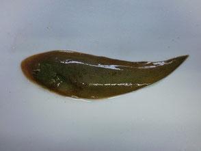 舌平目の写真
