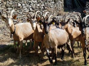 Vacances à la ferme dans les Cévennes. Les chèvres de Gérard.