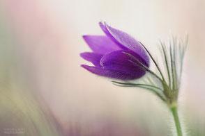 Violete Blüte vor hellem Hintergrund, in freier Natur aufgenommen, füllt das halbe Format, botanische Bezeichnung: Kuhschelle
