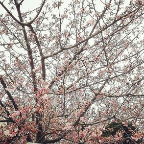 梅の花が咲いています