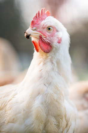 Products – Halal Organic Chickens, Halal Free Range Chickens, Halal Organic Lambs - 1