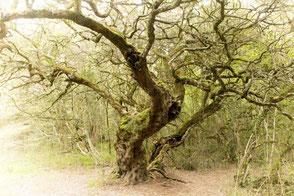 アフリカンツリーエッセンス 全体性の木 ミルクウッド