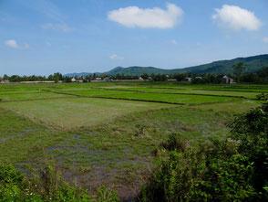Reisfeld an Reisfeld - soweit das Auge reichte