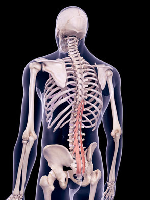 die tiefe Rückenmuskulatur im Bild Quelle: de.123rf.com #58799092